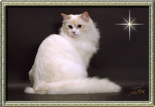 Cream point bicolor Ragdoll cat