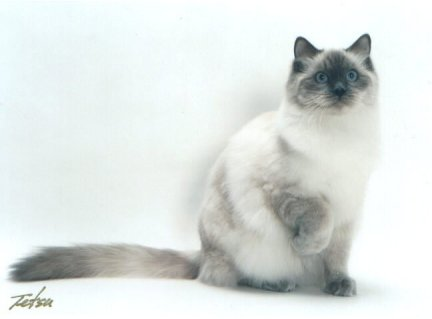 blue colorpoint Ragdoll cat
