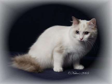 blue tortie point bicolor Ragdoll cat