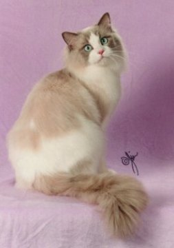 Lilac Point Bicolor Ragdoll