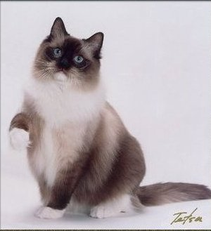 Ragdoll Cat BellaPalazzo Bridger