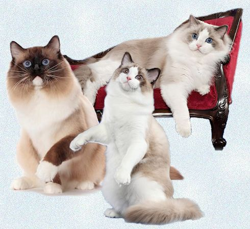 Catastrophe/Lonerock - Ragdoll Cats and Kittens - All
